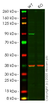 Western blot - Anti-PI 3 Kinase p85 alpha antibody [EPR5513] (ab133595)