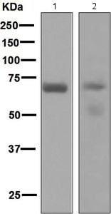 Western blot - Anti-PCK1/PEPC antibody [EPR6938] (ab133603)