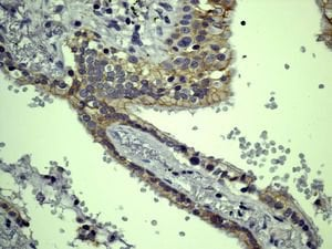 Immunohistochemistry (Formalin/PFA-fixed paraffin-embedded sections) - Anti-Eotaxin antibody [EPR5825] (ab133604)