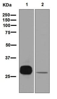 Western blot - Anti-PR3 antibody [EPR6277] (ab133613)