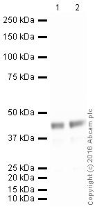 Western blot - Anti-MyoD1 antibody [EPR6653-131] (ab133627)