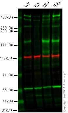 Western blot - Anti-Caspr antibody [EPR7828] (ab133634)