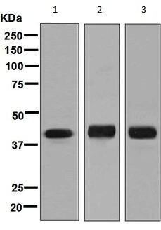 Western blot - Anti-TTF1 antibody [EPR8190-6] (ab133638)