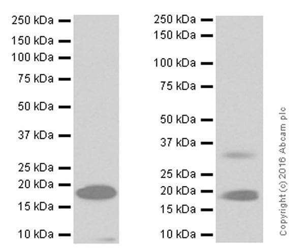Western blot - Anti-Telethonin antibody [EPR8375] (ab133646)