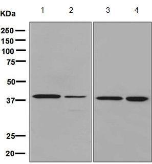 Western blot - Anti-DRG1 antibody [EPR8465] (ab133648)