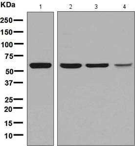 Western blot - Anti-Naked1 antibody [EPR8603] (ab133650)