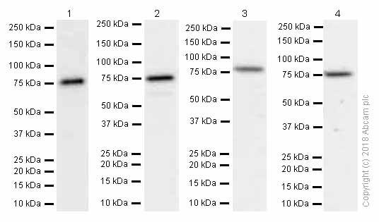 Western blot - Anti-Methylmalonyl Coenzyme A mutase antibody [EPR7739] (ab133672)