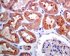 Immunohistochemistry (Formalin/PFA-fixed paraffin-embedded sections) - Anti-Alpha SNAP antibody [EPR7372] (ab133673)