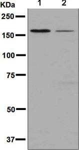 Western blot - Anti-DIAPH1 antibody [EPR7949] (ab133683)