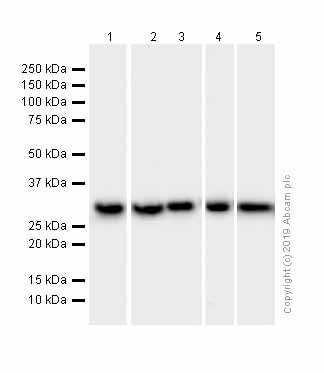Western blot - Anti-SF2 antibody [EPR8240] (ab133689)