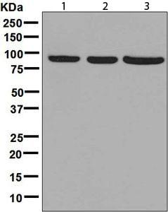 Western blot - Anti-HOOK2 antibody [EPR8673] (ab133691)