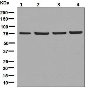 Western blot - Anti-DPP3 antibody [EPR9021(B)] (ab133735)