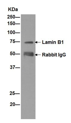 Immunoprecipitation - Anti-Lamin B1 antibody [EPR8985(B)] (ab133741)
