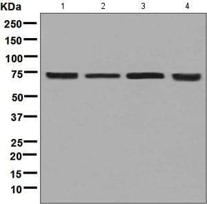 Western blot - Anti-CTP synthase/CTPS antibody [EPR8086(B)] (ab133743)