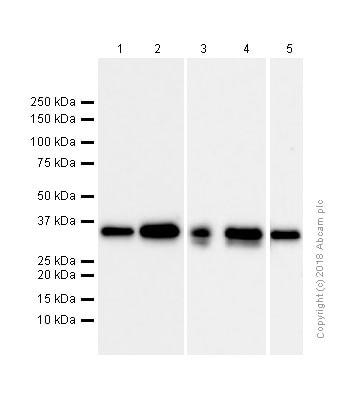 Western blot - Anti-Syntaxin 3 antibody [EPR8543] (ab133750)