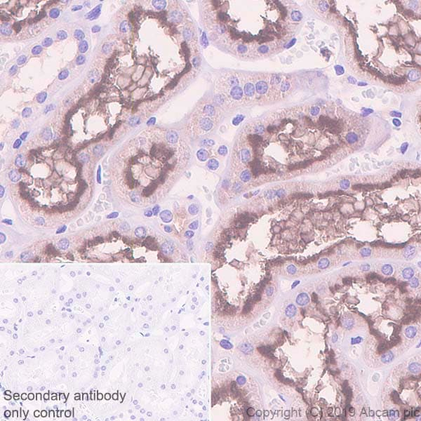 Immunohistochemistry (Formalin/PFA-fixed paraffin-embedded sections) - Anti-Syntaxin 3 antibody [EPR8543] (ab133750)