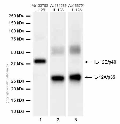 Western blot - Anti-IL-12B antibody [EPR5739] (ab133752)