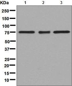 Western blot - Anti-TAF15 antibody [EPR9196(B)] (ab133760)
