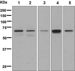 Western blot - Anti-ARF GAP 2 antibody [EPR8497] (ab133768)
