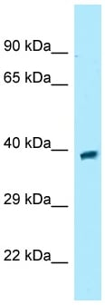 Western blot - Anti-OGR1 antibody (ab133818)