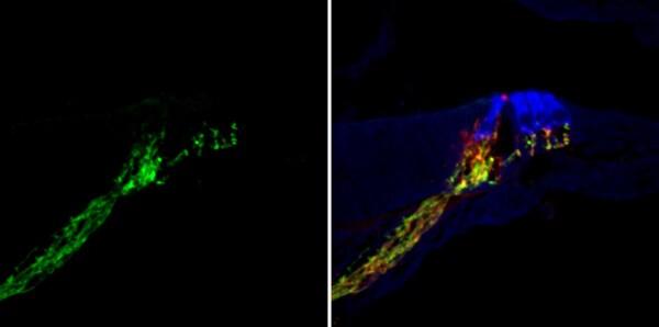 Immunohistochemistry (Frozen sections) - Anti-SYT1 antibody (ab133856)