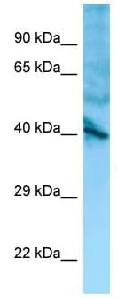 Western blot - Anti-GPR137 antibody (ab133930)