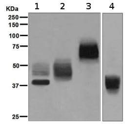 Western blot - Anti-CD63 antibody [EPR5702] (ab134045)