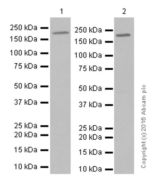 Western blot - Anti-GCN2 antibody [EPR5970(2)] (ab134053)