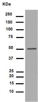Western blot - Anti-GATA4 antibody [EPR4768] (ab134057)