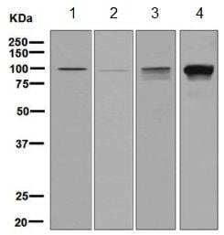 Western blot - Anti-IFNGR1 antibody [EPR7866] (ab134070)