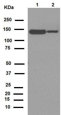 Western blot - Anti-Growth hormone receptor antibody [EPR5291(2)] (ab134078)