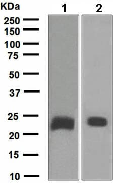 Western blot - Anti-Kappa light chain antibody (ab134083)