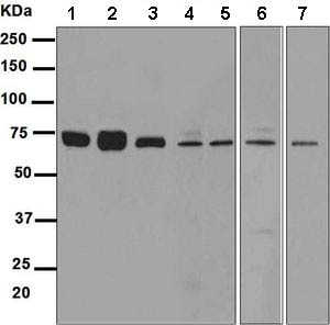 Western blot - Anti-SESN1 antibody [EPR1930(2)] (ab134091)
