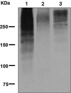 Western blot - Anti-MUC16 antibody [EPSISR23] (ab134093)