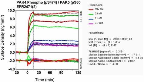 Other - Anti-PAK4 + PAK5 + PAK6 (phospho S474 + S560 + S602) antibody [EPR2471(2)] (ab134097)