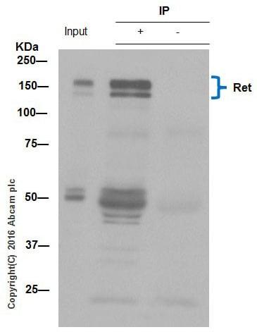 Immunoprecipitation - Anti-Ret antibody [EPR2871] (ab134100)