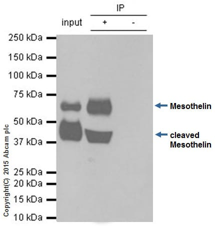 Immunoprecipitation - Anti-Mesothelin antibody [EPR2685(2)] (ab134109)