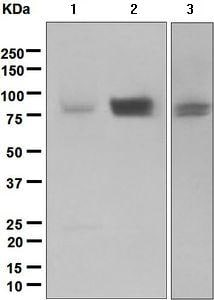 Western blot - Anti-CD239/BCAM antibody [EPR4165] (ab134110)