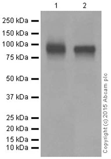 Western blot - Anti-CD19 antibody [EPR5906] (ab134114)