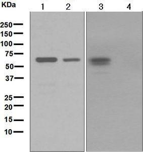 Western blot - Anti-c-Fos antibody [EPR883(2)] (ab134122)