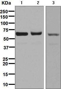 Western blot - Anti-Methionine Aminopeptidase 2/p67 antibody [EPR6887] (ab134124)