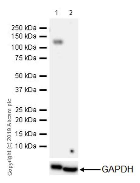 Western blot - Anti-CD41 antibody [EPR4330] (ab134131)