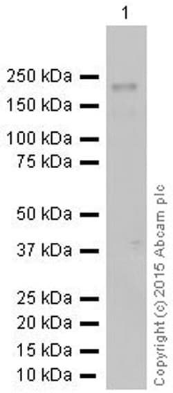 Western blot - Anti-Dnmt1 antibody [EPR3521(2)] (ab134148)
