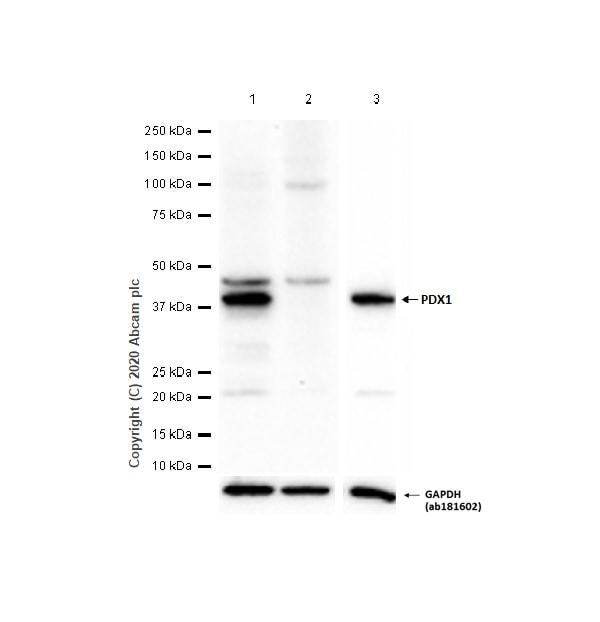Western blot - Anti-PDX1 antibody [EPR3358(2)] (ab134150)