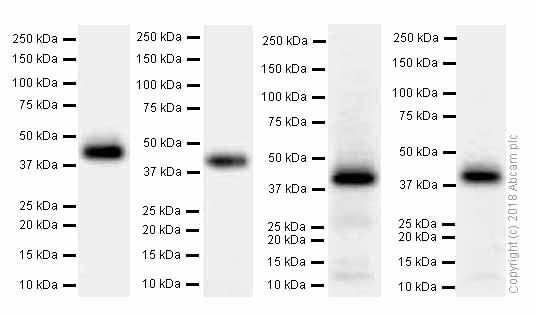 Western blot - Anti-M6PR (cation dependent) antibody [EPR7691] (ab134153)
