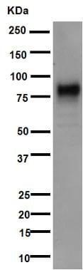 Western blot - Anti-5T4 antibody [EPR5529] (ab134162)