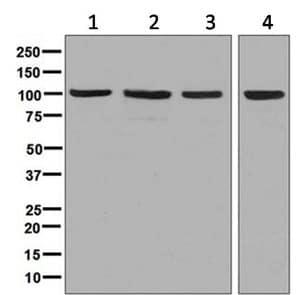 Western blot - Anti-Nucleolin antibody [EPR7951] (ab134164)
