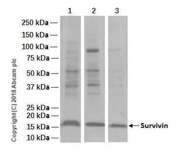 Western blot - Anti-Survivin antibody [EPR2675] (ab134170)