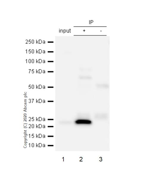Immunoprecipitation - Anti-GSTK1 antibody [EPR1939] (ab134173)