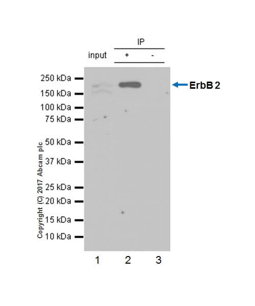 Immunoprecipitation - Anti-ErbB2 / HER2 antibody [EP1045Y] (ab134182)